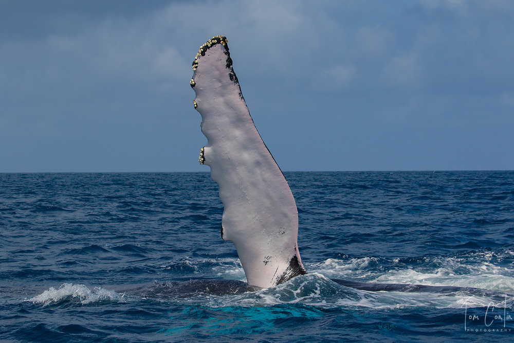 humpback whale ~ Megaptera novaeangliae ~ fin slapping ~ Silver Bank, Dominican Republic  ~ www.aquaticadventures.com