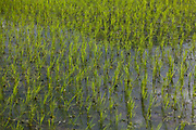 Rice seedlings just planted in the flooded paddy above the Bagmati river in Dhading. Its the rainy season and time to plants rice and millet, the stable food of Nepal.