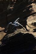 Galapagos Pelican , Isla Isabella, Galapagos Islands, Ecuador, South America