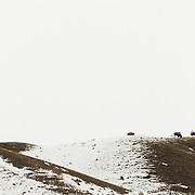 American buffalo grazing in snow, Grand Teton National Park, Wyoming, USA