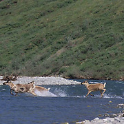 Barren Ground Caribou, (Rangifer arcticus) Adult and calf crossing Kobuk River. Porcupine herd. Arctic National Wildlife Refuge. ANWR. Kongakut River. Alaska.