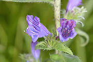 PURPLE VIPER'S-BUGLOSS Echium plantagineum. Height to 50cm.Iis similar to Viper's-bugloss but shorter and more softly hairy. The flowers are purplish blue and funnel-shaped; they are borne in curved clusters (Jun-Sep). This species grows on dry, sandy ground and is also found, very locally, in W Cornwall.