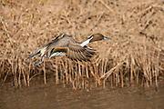 Pintail duck flushing