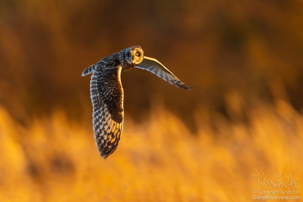 A short-eared owl (Asio flammeus) flies over a field in the golden last light of day as it hunts in the Skagit Valley near Bow, Washington. The short-eared owl is found over much of North America. It hunts over open fields and grasslands, diving to catch small mammals and birds.