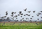Nederland, Ubbergen, 16-11-2018 Wilde ganzen in de Ooijpolder. Elk jaar overwinteren tienduizenden ganzen in de Gelderse Poort en de uiterwaarden langs de rivier de Waal. Zij voeden zich met gras, vaak tot ergernis van boeren, veehouders die hun vee in de lente en zomer buiten willen laten grazen. Ook zijn de vogels verspreiders van het vogelgriepvirus. Foto: Flip Franssen