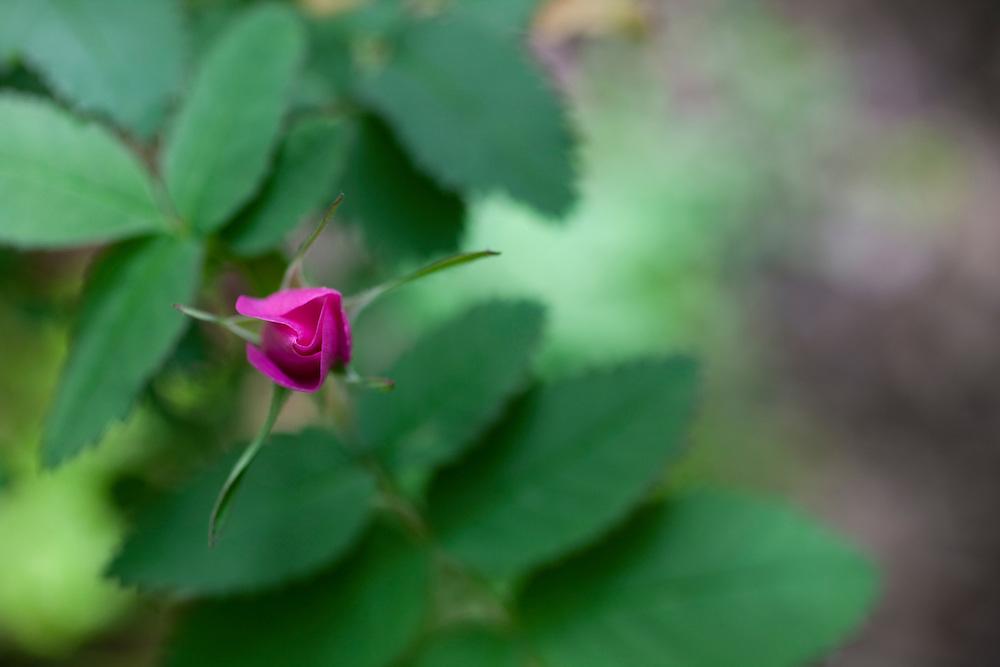 Close-up of pink wild rose
