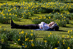 © Licensed to London News Pictures. 25/02/2019. London, UK. A woman relaxes among daffodils in unseasonably warm weather in St James's Park. The spell of warm weather set to bring temperatures in the UK close to the record for February. Photo credit: Dinendra Haria/LNP