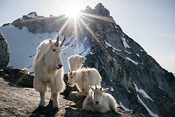 A herd of mountain goats basks in the sunlight. North Cascades, Washington.<br /> <br /> BIO: Steven Gabriel Gnam is a photographer using the medium to explore and illuminate our connection to Nature. His work is a celebration of the wild and encourages protecting our remaining wildlands. Steven lives with his wife and daughter in the Pacific Northwest where, when not on assignment, he is focused on building soil, growing food, mountain running, and keeping bees.<br /> <br /> WEBSITE: gnam.photo<br /> INSTAGRAM: @steven_gnam
