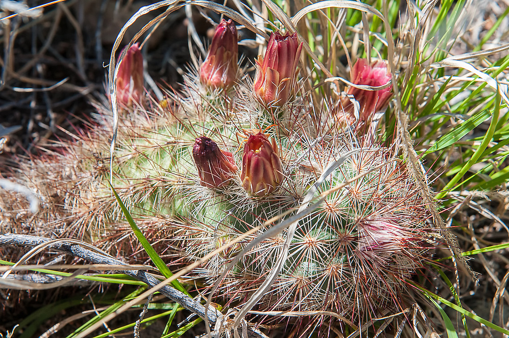 This cactus is native subspecies of the green-flowering hedgehog cactus and is common from mid-to-high elevations, favoring volcanic soils. The cylindrical stem of this cactus may branch to form large colonies. Rusty-red flowers with darker purplish maroon midstripes and greenish-yellow anthers grow from the middle third of the stem and do not open very wide. Found in the United States only in Brewster County in the Big Bend area of Texas, these were found growing below the Chisos Mountains near the Rio Grande.