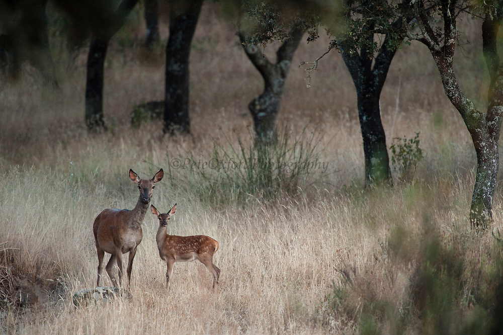 Red Deer (Cervus elaphus) & Fawn<br /> RANGE; Most of Europe, Caucasus Mountains, Asia Minor and parts of w & c Asia. Also the Atlas Mountains between Morocco & Tunisia. The only species of deer found in Africa.<br /> Sierra de Andújar Natural Park, Mediterranean woodland of Sierra Morena, north east Jaén Province, Andalusia. SPAIN<br /> <br /> Mission: Iberian Lynx, May 2009<br /> © Pete Oxford / Wild Wonders of Europe<br /> Zaldumbide #506 y Toledo<br /> La Floresta, Quito. ECUADOR<br /> South America<br /> Tel: 593-2-2226958<br /> e-mail: pete@peteoxford.com<br /> www.peteoxford.com