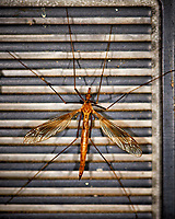 Crane Fly. Image taken with a Nikon D3 camera and 105 mm f/2.8 macro lens (ISO 200, 105 mm, f/5.6, 1/60 sec)