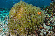 False Clown Anemonefish (Amphiprion ocellaris)  & Anemone (Actiniaria)<br /> Cenderawasih Bay<br /> West Papua<br /> Indonesia
