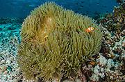 False Clown Anemonefish (Amphiprion ocellaris)  & Anemone (Actiniaria)<br /> Cenderawasih Bay<br /> West Papua<br /> Indonesia