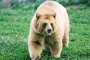 Alaska. Katmai National Park. Grizzly Bear.