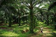 A smallholder palm oil farmer harvests palm fruit on his small family plot in Beluran District, Sabah, Malaysia, on 10 September 2016. The family has been able to increase their yields since becoming part of the Wild Asia Group scheme, which works with the Roundtable on Sustainable Palm Oil to support Malaysian smallholders to become certified sustainable. This includes improving farm management, reducing their use of pesticides and fertilizers, and increasing yields. The lush ground cover on this plot is a sign that herbicide is being used sparingly. Smallholders account for 40% of global palm oil production, and as such play an important role in increasing sustainability within the industry.