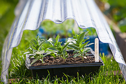 Tray of young tender Zinnia plants protected from late frosts by plastic cloche