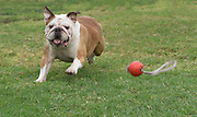 English Bulldog running and playing on the lawn