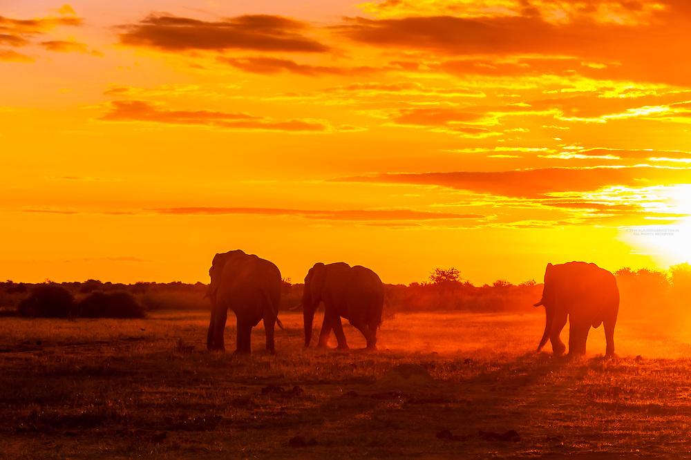Herd of elephants silhouetted at sunset, Nxai Pan National Park, Botswana.