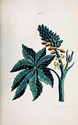 Castor (Castor oil plant - Ricinus palma christi currently Ricinus communis ) Collection of Exotics from the Island of Antigua. By a Lady from the second edition of Naauwkeurige Waarneemingen omtrent de veranderingen van veele Insekten (Accurate Descriptions of the Metamorphoses of Insects), J. Sluyter, Amsterdam, 1774. For the second edition, M. Houttuyn added another eight plates to the original 25.