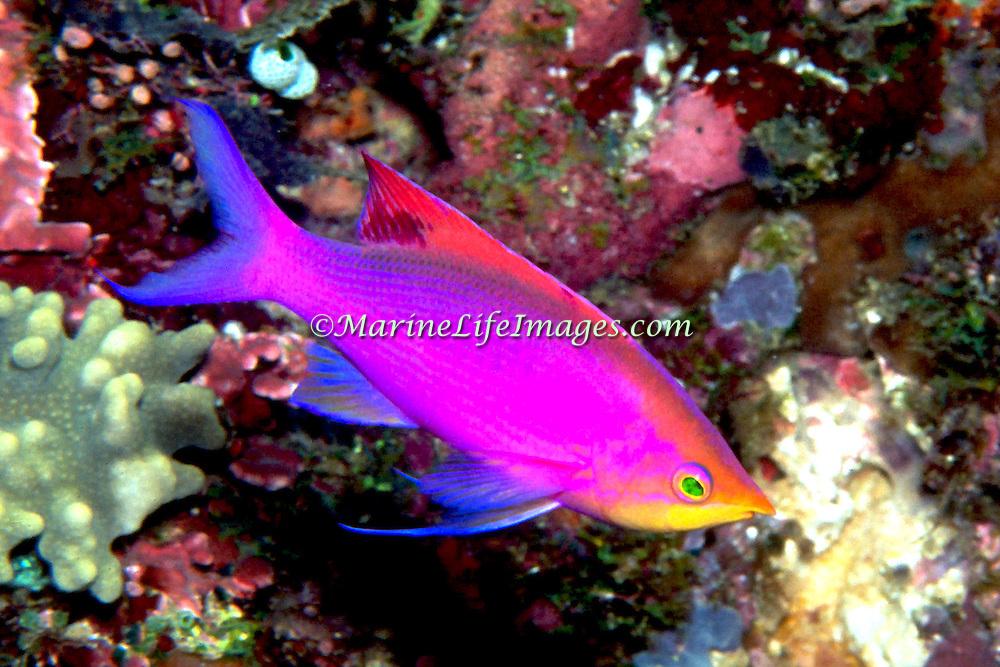 Purple Anthias inhabit reefs. Picture taken Raja Ampat, Indonesia.