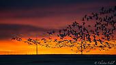 Freezeout Lake - Spring Snow Goose Migration 2015