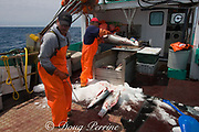 crew of longline fishing boat load finned porbeagle shark ( Lamna nasus ) carcasses into ice box Nova Scotia, Canada ( North Atlantic Ocean )