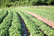 Rows of potatoes growing in a field in early summer, Shottisham, Suffolk, England