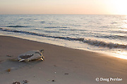 Australian flatback sea turtle, Natator depressus, two females returning to ocean after nesting, Crab Island, off Cape York Peninsula, Torres Strait, Queensland, Australia