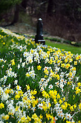 A swath of daffodils cascades down a steep bank in an old cemetery.