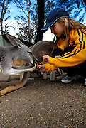Child (10 years old) feeding Kangaroos. Sydney, Australia