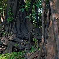 Due to shallow topsoil in Peru's Amazon Jungle, bigger trees often grow multiple above-ground roots to stabilize & anchor themselves.