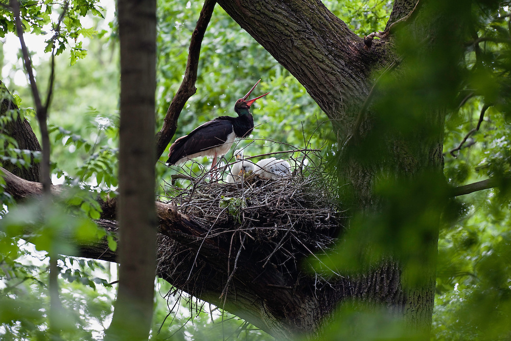 Black Stork at nest, Ciconia nigra, Slovakia, Europe, Schwarzstorch am Nest, Ciconia nigra, Slowakei, Europa