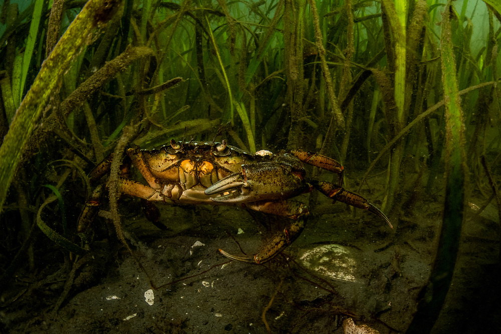 An invasive European green crab (Carcinus maenas) in a seagrass (Zostera marina) meadow off Vancouver Island, BC, Canada. Green crabs are especially destructive in seagrass meadows because they dig in the sediment for food and uproot the seagrass. They can decimate this important plant quickly.