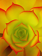 """the beauty of a succulent captured in a """"Aeonium Arboreum"""" with brightly colored red tips."""