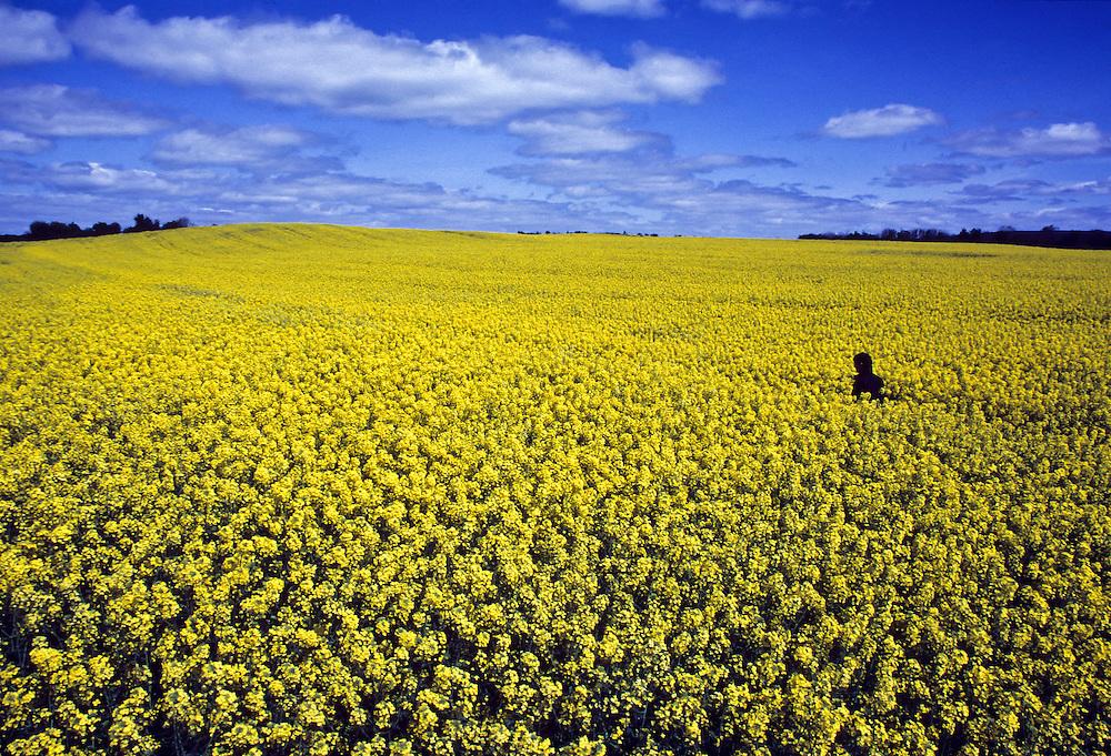Ireland: A yellow mustard field.
