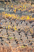 Maury. Roussillon. Vines trained in Gobelet pruning. Vine leaves. Vineyards. Spectacular view over the mountains. France. Europe.