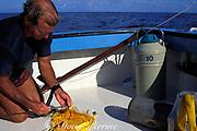 Don DeMaria prepares tissue sample from <br /> Goliath grouper or jewfish, Epinephelus itajara,<br /> Florida, ( Gulf of Mexico ) FSU-NMFS jewfish research project