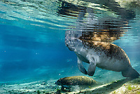 Florida manatee, Trichechus manatus latirostris, a subspecies of the West Indian manatee, endangered. Series of mother and calf in the springs. Mother takes a breath while her active calf takes off to explore, flanked by fish, mangrove snapper, Lutjanus griseus. Their red algae can be a clue as to where the pair spent the summer. Horizontal orientation with blue water and sun rays. Three Sisters Springs, Crystal River National Wildlife Refuge, Kings Bay, Crystal River, Citrus County, Florida USA.
