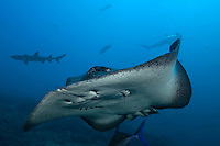 Marbled Ray, Whitetip Reef Shark, and Scalloped Hammerhead Sharks