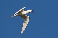 Sandwich Tern (Sterna sandvicensis), Texel, the Netherlands