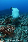 Hawaiian monk seal, Monachus schauinslandi, endemic species, critically endangered, Lehua Rock ( near Niihau ), Hawaii, USA ( Central Pacific Ocean
