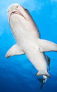 Whitetip reef shark (Triaenodon obesus), underside view, Fathers reefs, Kimbe Bay