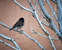 Dark-eyed (pink-sided) Junco. Image taken with a Nikon D300 camera and 80-400 mm VR lens (ISO 800, 400 mm, f/5.6, 1/160 sec).