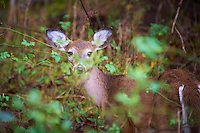 Young Doe Hiding in the Brush Image Taken with a Nikon D700 and 28-300 mm VR lens (ISO 1250, 300 mm, f/5.6, 1/125 sec).