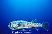 porcupinefish, Diodon hystrix, with sharksuckers, Echeneis naucrates, Richelieu Rock, Surin Islands, Thailand ( Andaman Sea, Indian Ocean )
