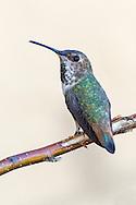 Allen's Hummingbird - Selasphorus sasin - Adult female