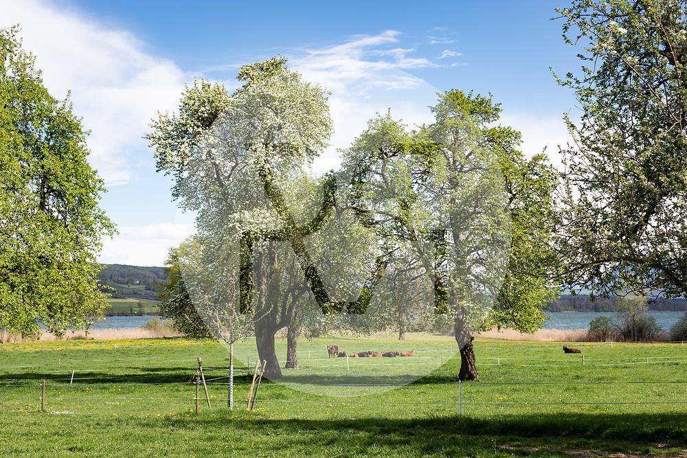 SCHWEIZ - BALDEGG - Rinder unter Hochstamm-Obstbäume am Baldeggersee - 24. April 2019 © Raphael Hünerfauth - https://www.huenerfauth.ch
