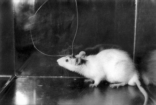 Nederland, Nijmegen, 1-6-1989Aan de medische faculteit van de katholieke universiteit Nijmegen wordt bij een witte rat de hersenaktiviteit gemeten. Onderzoek naar oorzaak en mogelijke bestrijding van ziekte van Parkinson. Proefdieren. dierenlaboratoriumFoto: Flip Franssen