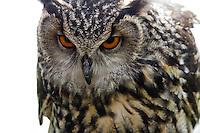 European eagle owl close-up, glare