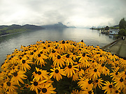 Yellow flowers on the bank of Lake Luzern.